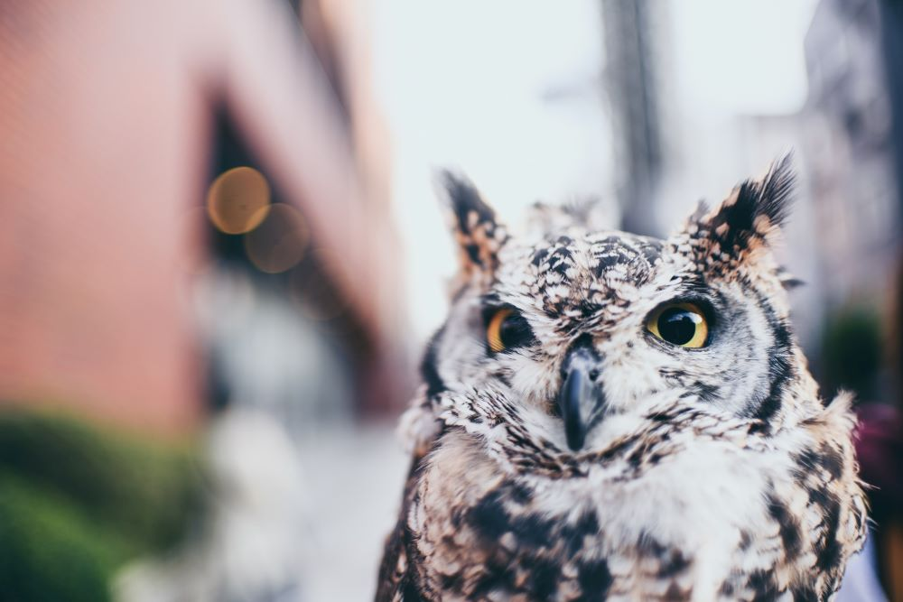 up close of owl