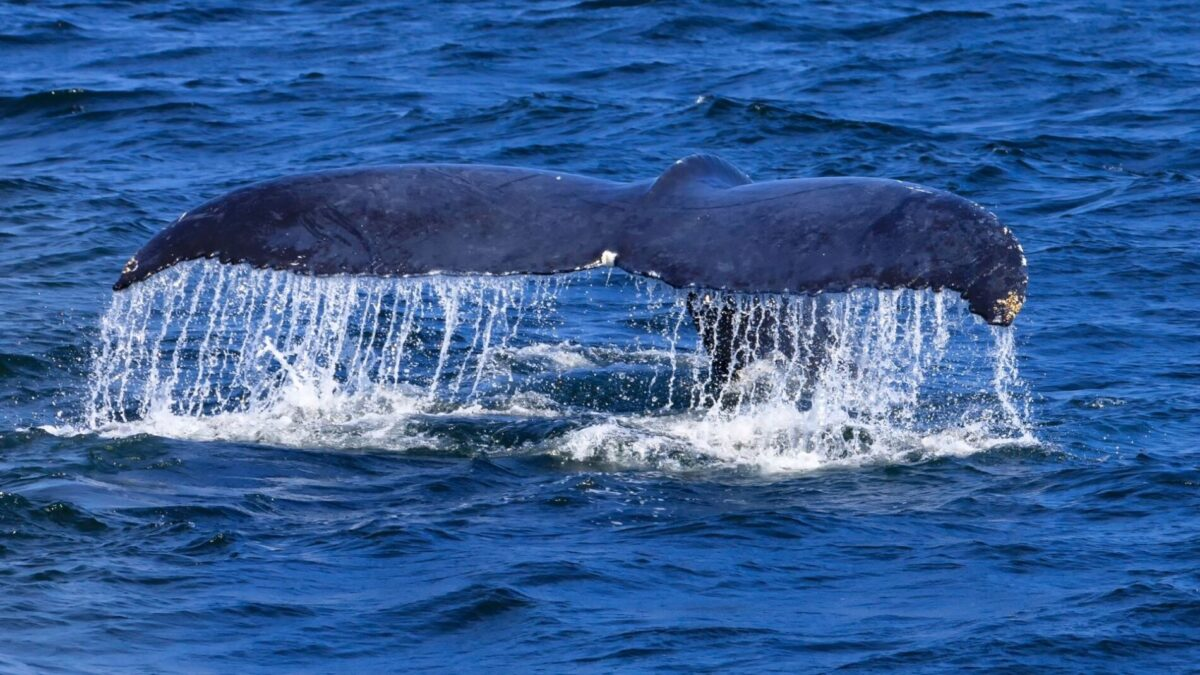 A whales tail out of the water in Narragansett