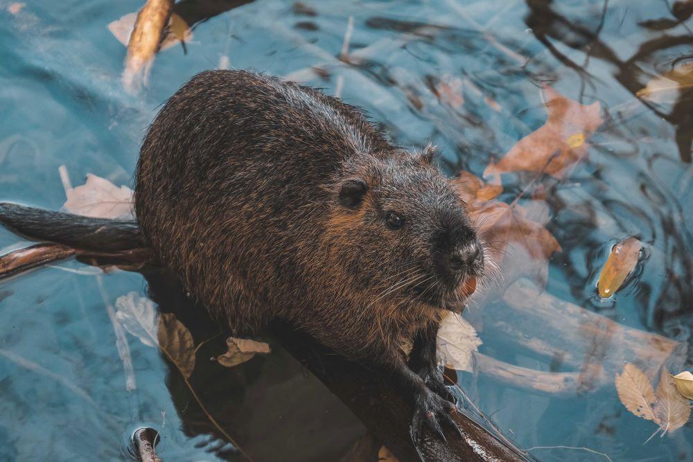 Beaver in Narragansett water