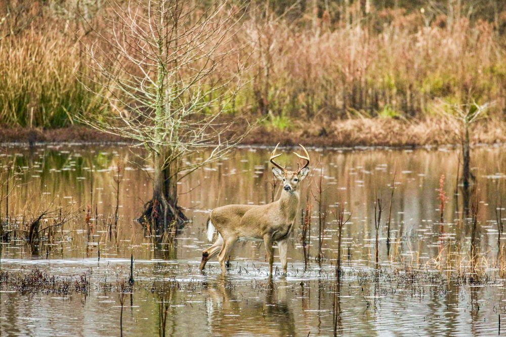 Deer in Narragansett swamp