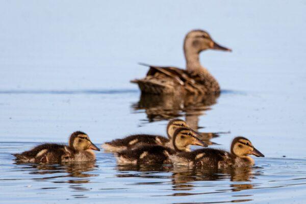 Ducks on Narragansett water
